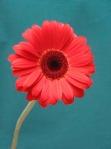 Red Gerbera Daisy IMG_0149 s.c