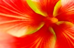 Yellow Hibiscus, Red Center 7_IGP0786 s.c