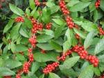 Red Berries - IMG_4552 s